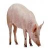 Mere bevægelsesfrihed til danske grise