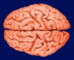 Hjernen er smartere opbygget end antaget