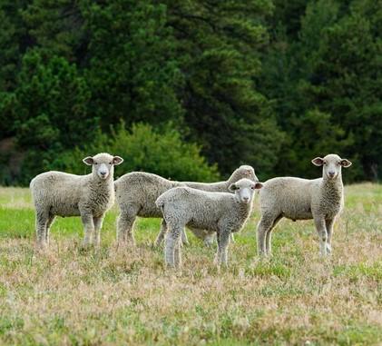 Ægte lammeskind – er det dyrplageri eller ej?